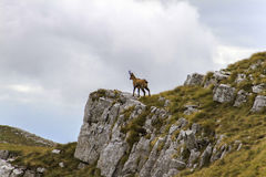 Chamois on the top of a rock. In Abruzzo Stock Image