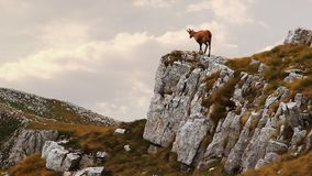 Chamois on the top of a rock stock footage