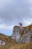 Chamois on the top of a rock. In Abruzzo, Italy Royalty Free Stock Images