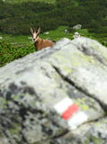 Chamois tourist royalty free stock photo