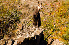 Chamois in the Vanoise Natl Park. French Alps. A big male chamois in the Ecrins National Park. France Stock Photos