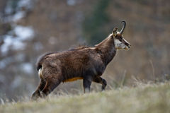 Chamois walking in the grass. Chamois walking on a mountain in Gran Paradiso National Park Stock Image