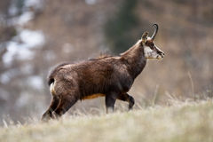 Chamois Royalty Free Stock Image