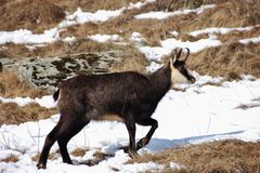 Chamois walking in Valnontey, Italy. Chamois Rupicapra rupicapra in Valnontey, Aosta Valley, Italy Stock Image