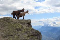 Chamois watching in the distance Stock Image