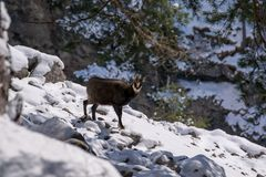 A chamois in the wild. A chamois in the wild looks in the camera Stock Photography