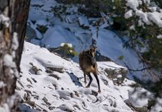 A chamois in the wild. A chamois in the wild looks in the camera Royalty Free Stock Photography