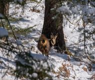 A chamois in the wild. A chamois in the wild looks in the Camera Stock Images