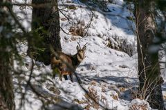 A chamois in the wild. A chamois in the wild looks in the Camera Royalty Free Stock Images
