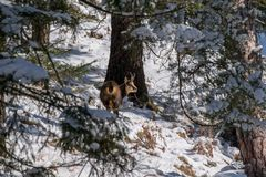 A chamois in the wild. A chamois in the wild looks in the Camera Royalty Free Stock Photos