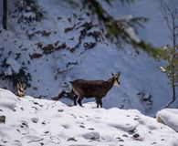 Several chamois in the wild. A chamois in the wild looks in the camera Royalty Free Stock Image