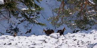 Several chamois in the wild. A chamois in the wild looks in the camera Stock Photos