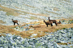 Chamois, wild mountain Royalty Free Stock Photo