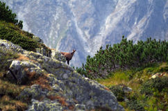 Chamois - Wild Retezat Mountain Royalty Free Stock Image