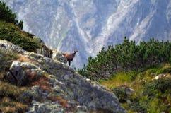 Chamois - Wild Retezat Mountain. Chamois on Retezat Mountains on September Royalty Free Stock Image
