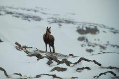 Chamois. A wild chamois on  snowed mountain Royalty Free Stock Photography