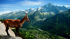 Chamois. Wild chamois on top of the valley of Chamonix, France royalty free stock image