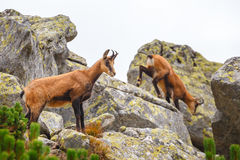 Chamois (Rupicapra Carpatica) Royalty Free Stock Photography