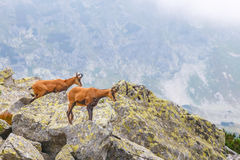 Chamois (Rupicapra Carpatica) Royalty Free Stock Photo