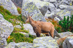 Chamois (Rupicapra Carpatica) Royalty Free Stock Image