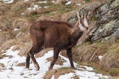 Chamoise (Rupicapra rupicapra)在阿尔卑斯 免版税库存图片