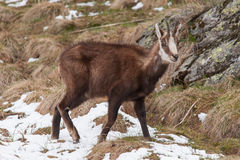 Chamoise(Rupicapra rupicapra) in Alps Royalty Free Stock Image