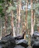 2 chamoises кладя на камни в лесе Стоковые Изображения