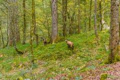 Chamoises i skogen nära Koenigssee, Konigsee, Berchtesgaden nationalpark, Bayern, Tyskland fotografering för bildbyråer