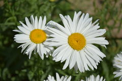Chamomile. – delicate flowers with a pleasant aroma one of the most famous medicinal plants stock photos