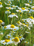 Chamomile łąka Zdjęcia Stock