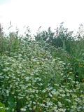 Chamomile łąka Zdjęcie Royalty Free