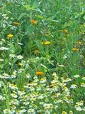 Chamomile łąka Zdjęcia Royalty Free