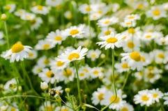 chamomile άγρια περιοχές Στοκ φωτογραφία με δικαίωμα ελεύθερης χρήσης