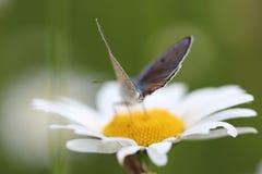 Chamomile και πεταλούδα Στοκ Εικόνες