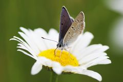 Chamomile και πεταλούδα Στοκ εικόνες με δικαίωμα ελεύθερης χρήσης
