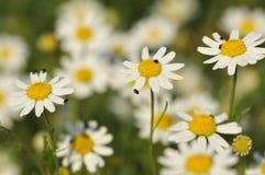 chamomile καλαμπόκι Στοκ Εικόνες