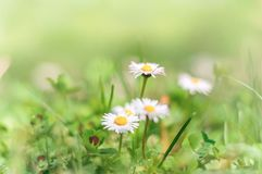 Chamomile λουλούδια άνοιξη στον τομέα φρέσκια χλόη πράσινη Backgr Στοκ φωτογραφία με δικαίωμα ελεύθερης χρήσης
