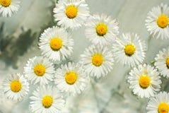 chamomile λουλούδια κύπελλων &alpha Στοκ Εικόνα