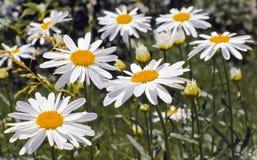 chamomile λουλούδια Στοκ Εικόνες