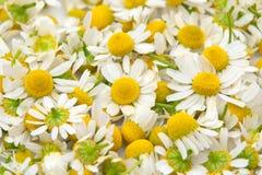 chamomile λουλούδια Στοκ Εικόνα