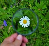 Chamomile μέσω μιας ενίσχυσης - γυαλί Στοκ Εικόνες