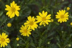 chamomile λουλούδια κίτρινα Στοκ φωτογραφίες με δικαίωμα ελεύθερης χρήσης