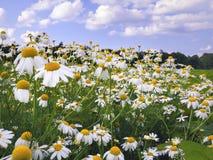 chamomile πεδίο μαργαριτών Στοκ Εικόνα