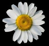 chamomile που απομονώνεται Στοκ Φωτογραφία