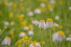 chamomile που αρχειοθετείται Στοκ εικόνες με δικαίωμα ελεύθερης χρήσης