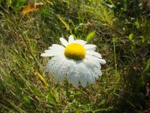 Chamomile στη χλόη με τη δροσιά στα πέταλα Στοκ Φωτογραφία