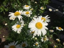 Chamomile στον κήπο Στοκ εικόνα με δικαίωμα ελεύθερης χρήσης