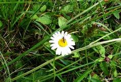 Chamomile στο δάσος και το έντομο στοκ εικόνα με δικαίωμα ελεύθερης χρήσης