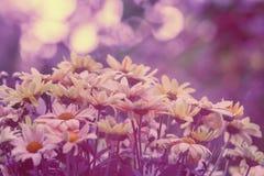 chamomile τρύγος λουλουδιών αν& Στοκ φωτογραφία με δικαίωμα ελεύθερης χρήσης