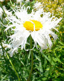 chamomile ύφασμα Στοκ Εικόνες